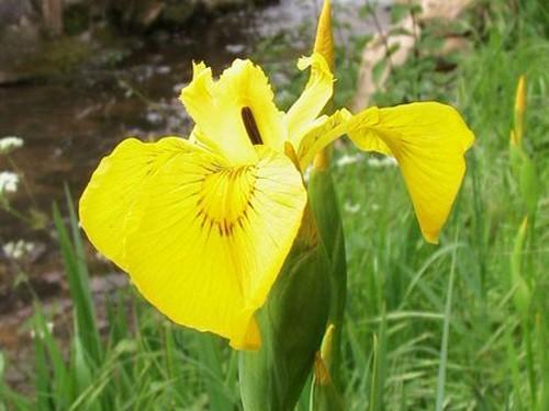 Iris Pseudacorus (Iris de marais)