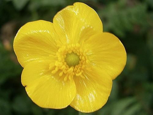 Ranunculus Lingua (Grande douve)
