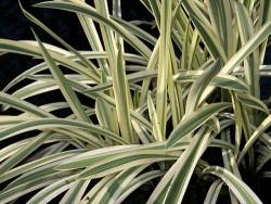 Glyceria Maxima Variegata (Reed Sweetgrass)