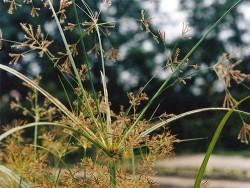 Cyperus Longus (tall sedge)