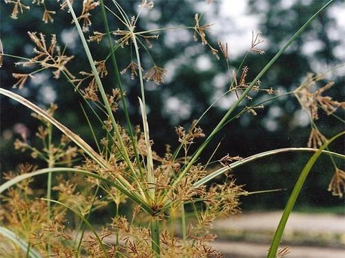 Cyperus Longus (Long souchet)