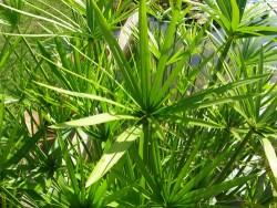 Cyperus Alternifolius (Umbrella Papyrus)