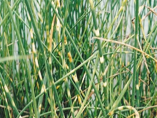 Schoenoplectus tab. 'Zebrinus' (Scirpe zébré)