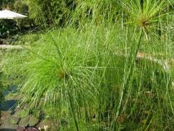 Cyperus papyrus (Papyrus du Nil)