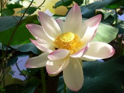 Nelumbo Nucifera (espèce), Syn. Lotus sacré