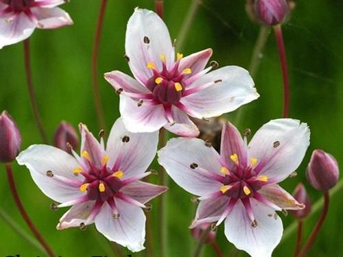 Butomus Umbellatus (Jonc fleuri)