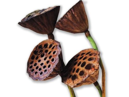 Tiges de lotus séchées