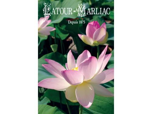 Sacred Lotus Seeds (Nelumbo Nucifera)