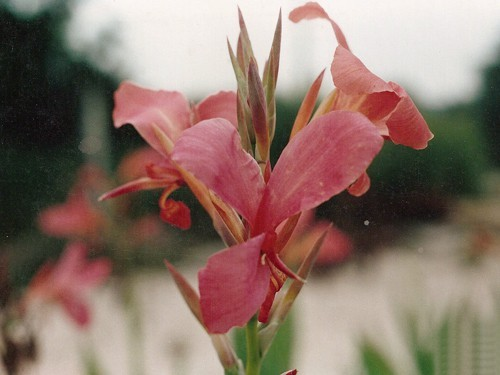 Canna 'Erebus' (Balisier, Canna aquatique)