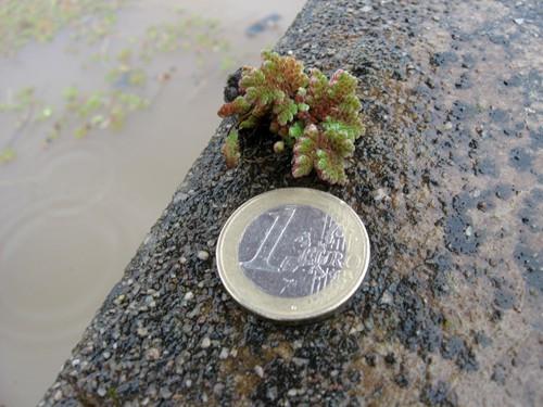 Azolla Pinnata (Water Fern, Fairy Moss)