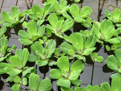 pistia stratiotes laitue d 39 eau plante flottante. Black Bedroom Furniture Sets. Home Design Ideas