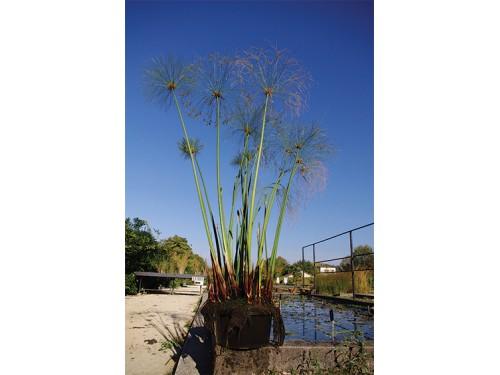 Cyperus papyrus en pot
