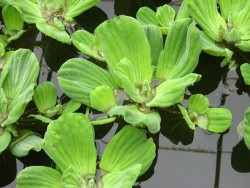 Pistia Stratiotes (Water Lettuce)