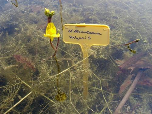 Utricularia Vulgaris (Utriculaire)
