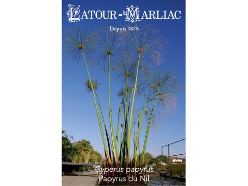 Graines de Cyperus papyrus