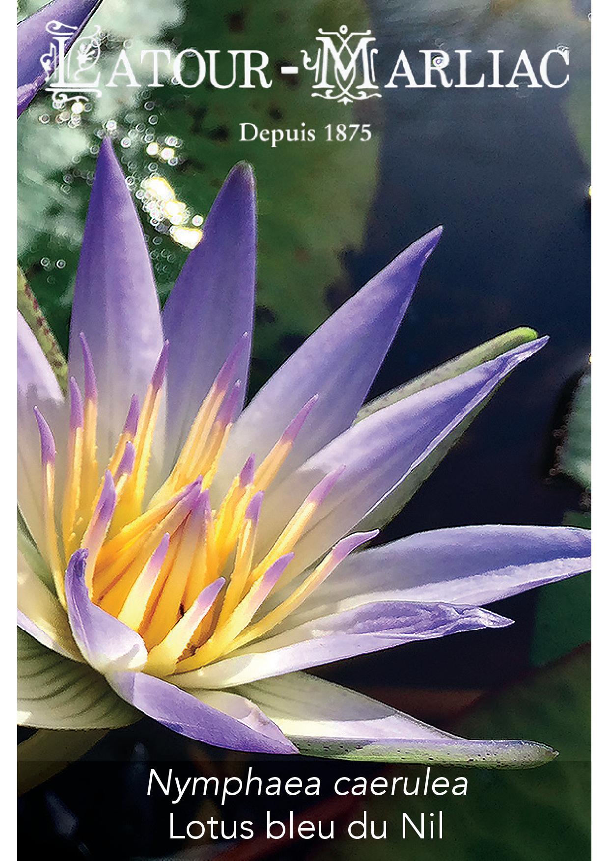 Nymphaea Caerulea bleus Nénuphar bleu LOTUS DU NIL 50 graines