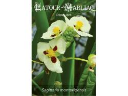 Seeds - Sagittaria montevidensis