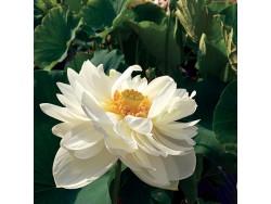 Nelumbo 'High Cotton'