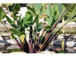 Thalia geniculata (Tige rouge)