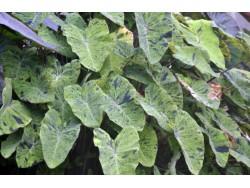 Colocasia 'Mojito'