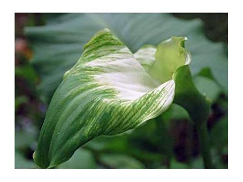Zantedeschia Aethiopica 'Green Goddess' (Calla Lily)