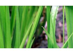 Acorus Calamus (Acore vert)