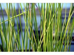 Baumea rubiginosa - plante emmergée
