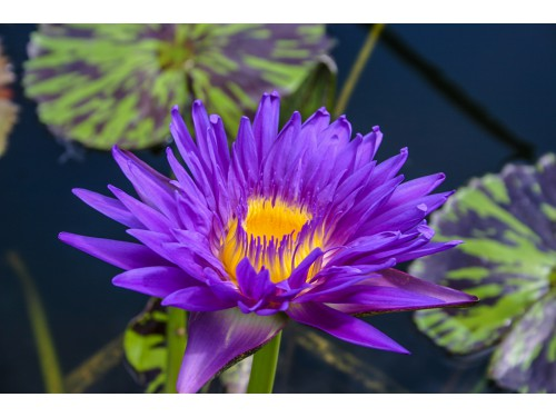 Nymphaea 'Blue Aster'