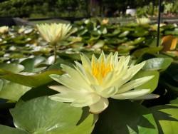 Nymphaea 'Odorata Sulphurea Grandiflora'