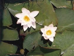 Nymphaea 'Alba Candidissima' (c. 1900)