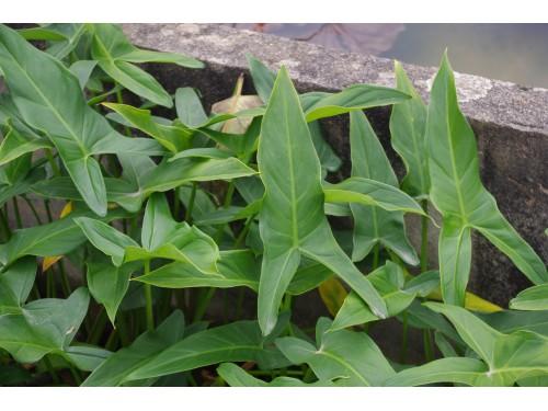 Peltandra virginica (Arum de Virginie)