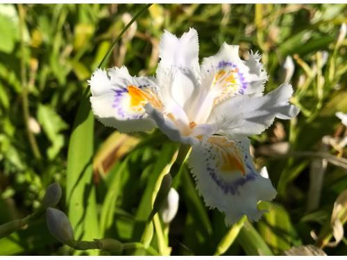 Iris japonica
