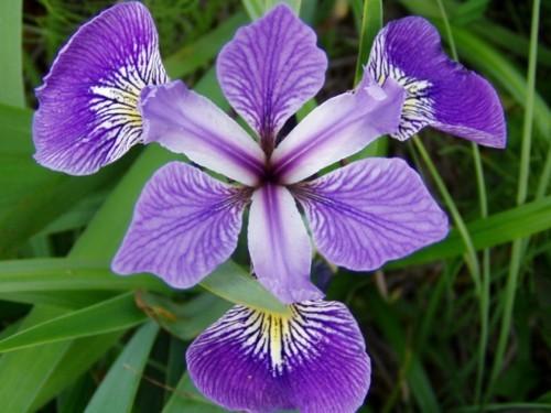Iris Versicolor (Iris versicolore)