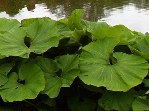 Petasites japonicus p tasite japonaise plante de berge for Plante japonaise