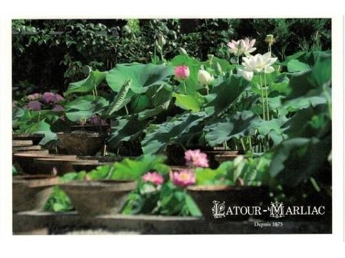 Carte postale 'Culture des Lotus'