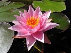Nymphaea 'Millenium Pink'