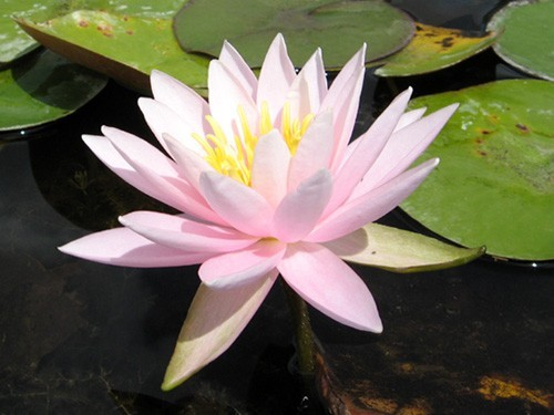 Nymphaea 'Caroliniana Rosea'