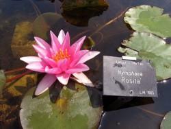Nymphaea 'Rosita'