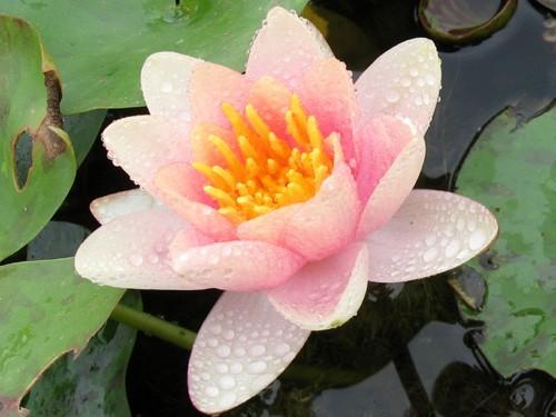 Nymphaea 'Chrysantha'