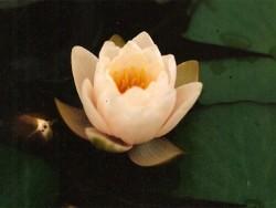 Nymphaea 'Lactea'