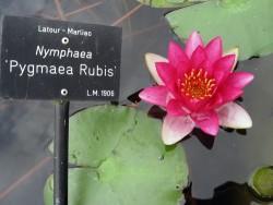 Nymphaea 'Pygmaea Rubis'