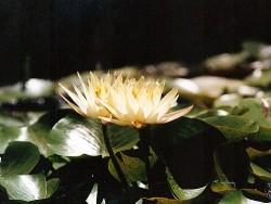 Nymphaea 'Odorata Sulphurea'