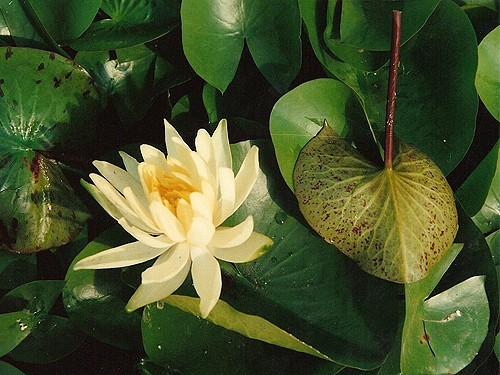 Nymphaea 'Colonel A.J. Welch'