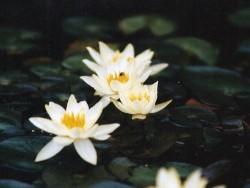 Nymphaea 'Pygmaea Helvola'