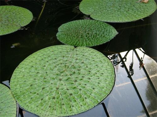 Euryale Ferox - seeds