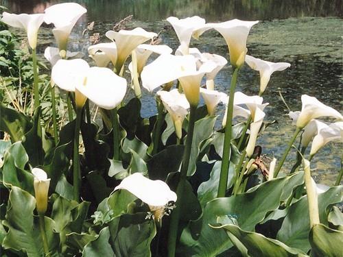 Zantedeschia Aethiopica (Calla Lily)