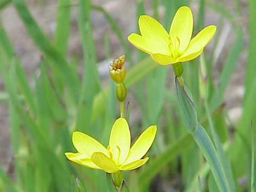 Sisyrinchium Californicum (Yellow Blue-eyed Grass)