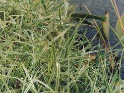 Phalaris arundinacea (Baldingére)