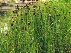 Typha Minima (Massette naine)