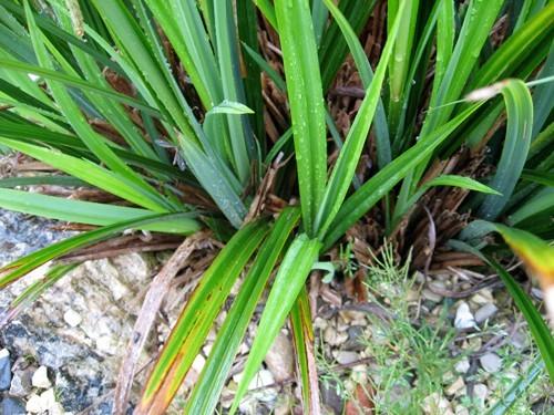 Carex pendula (Laîche à épis pendants)